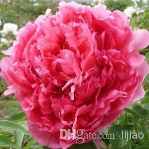 50pcs / lot Potted flower seeds red Peony Species peony seeds Potted tree peony Free shipping