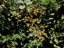 Hibiscus Esculentus Seed