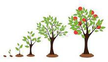 50 Northeastern red oak tree seedlings seed saplings
