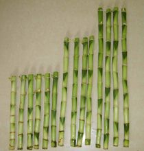 Straight Chinese Lucky Bamboo Plant 10cm-50cm
