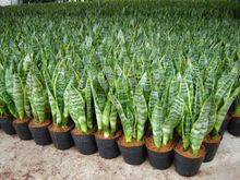 Golden Sansevieria green plants