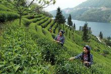 tea garden4