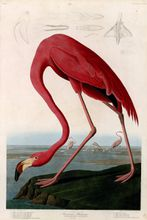 canvas painting print wall art poster vintage posters hand drawing prints animal picture American flamingo by John James Audubon