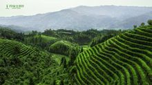 tea garden1