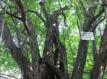 Green ebony trees' skin